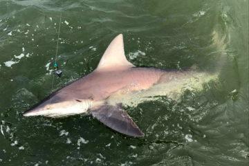 Brown Shark